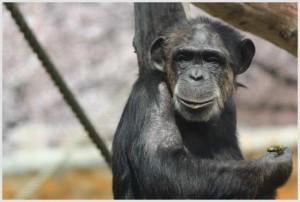 チンパンジーの睡眠時間