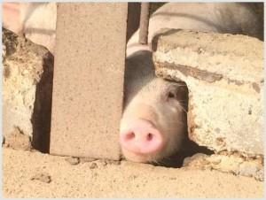 豚の睡眠時間